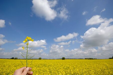 Farmer is holding rape in his hand. The background is a nice rape field and blue and cloudy sky. photo