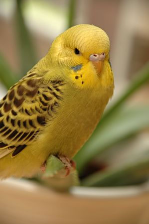 budgie: Yellow budgie is resting.