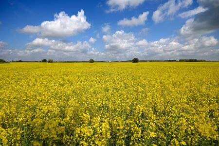 blossoming yellow flower tree: Yellow rape field with blue and cloudy sky.