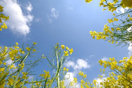 Yellow rape and blue and cloudy sky. photo
