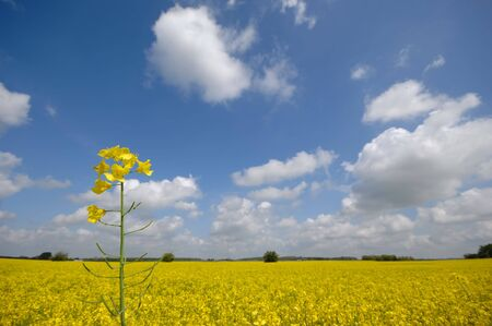 Yellow rape flower and landscape. photo