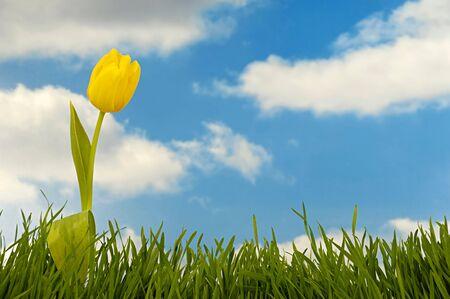 tulipan: Tulip i trawa zielona z nieba i chmur w tle. Zdjęcie Seryjne