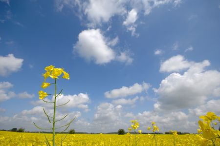 Rape flower with blue and cloudy sky. photo