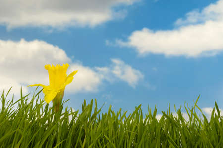 Daffodil in green grass with a blue and cloudy sky in the background. photo