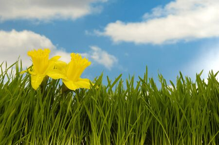 Daffodils with water drops in green grass with a blue and cloudy sky. photo