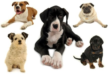 spotted dog: Dog collection isolated on white background