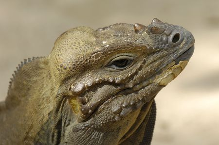 Ugly komodo reptile is looking. photo