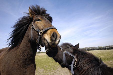 Sad and angry horses. One horse is bitting the other horse. photo