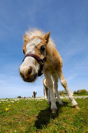 A foal is standing on green grass at summertime photo