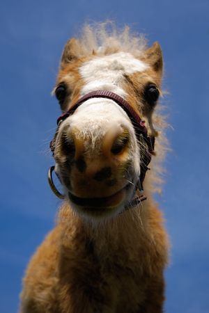 Wide angle shot of horse face. The horse is looking very curious. photo