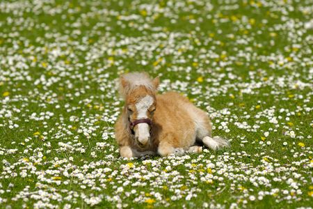 A sweet foal is resting on a green, white and yellow flower field photo
