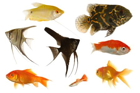 scalare: Many different aquarium fish isolated on white background.
