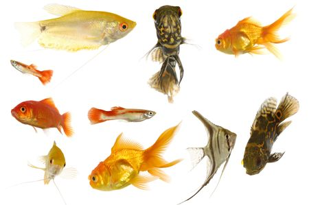 Many different aquarium fish isolated on white background. photo