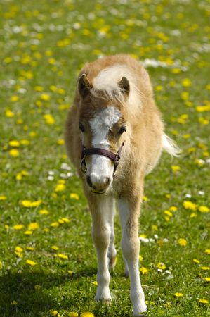 A sweet foal is standing alone on a flower meadow.  photo