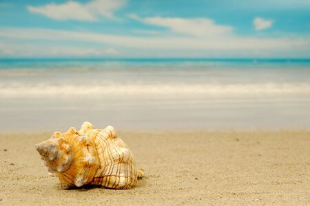 marinelife: A conch shell on an exotic beach