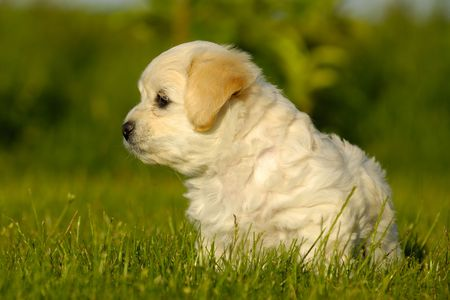 havanais: A Bichon Havanais puppy resting in the sun