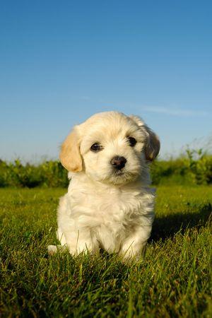 A Bichon Havanais puppy resting in the sun