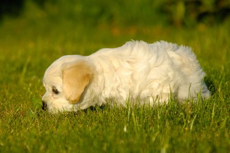 havanais: Bichon Havanais puppy is playing with a leaf on grass