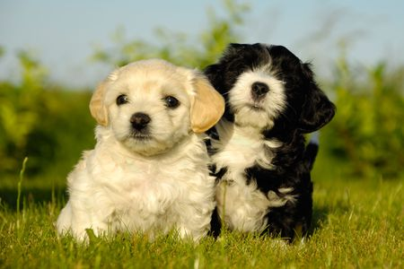 A black and a white puppy is posing in the sun
