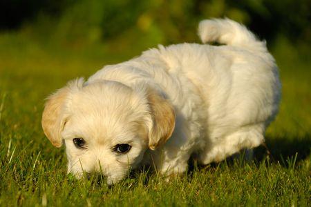 havanais: Bichon Havanais puppy is playing on green grass