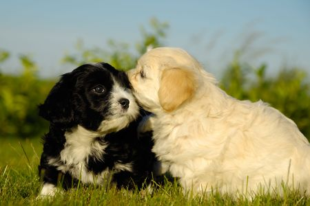 havanais: Two sweet puppy dogs in nature.