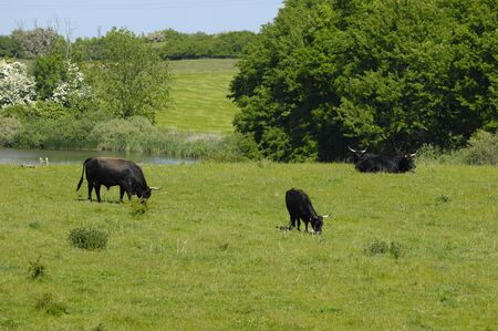 Cows are eating grass on meadow. photo