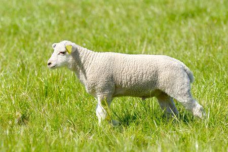 Sweet lamb in profile on a green field photo