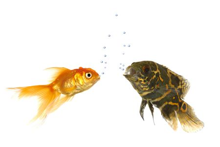 Goldfish and tiger oscar fish are comunicating with air bubbles Stock Photo