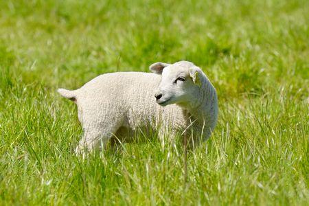 Lamb standing on green field looking.