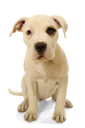 Sweet cachorro está sentado sobre un fondo blanco