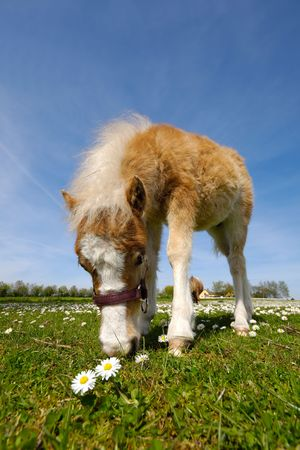 A sweet young horse is eating green grass photo