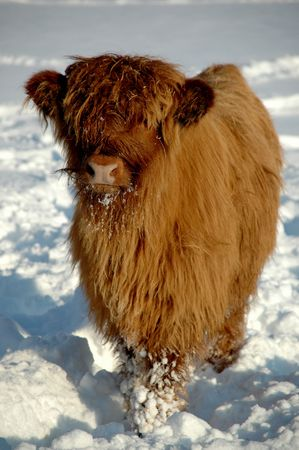 Young cow at winter time photo