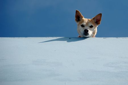 guard dog: Guard dog is looking down from roof.