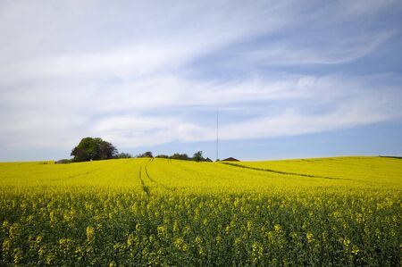 Yellow rape field and blue and cloudy sky. photo