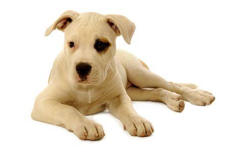 Dulce cachorro triste que reposa sobre un fondo blanco Foto de archivo
