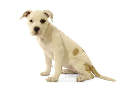 Sweet puppy is sitting in profile on a white background.