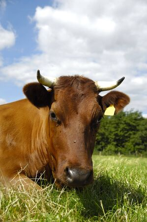 Face of a resting cow. The sky is blue with white clouds. photo