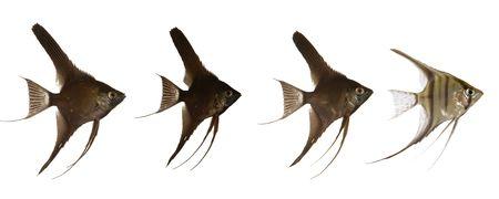 scalar: Black scalar fish are swimming after white scarlar fish. 2000 x 5000 pixls