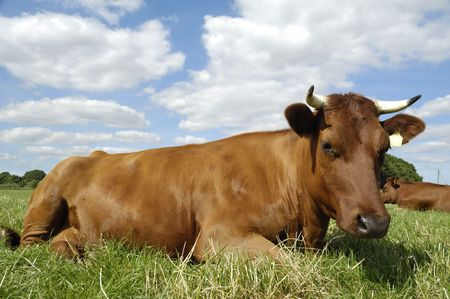 Cow is resting on a green field. The sky is blue with white clouds photo