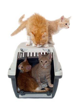 Cachorros de gato muy dulce es ontop y en el interior de una caja de transporte tomada sobre un fondo blanco limpio