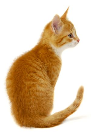 A sweet red cat kitten is sitting on a white background resting and looking photo