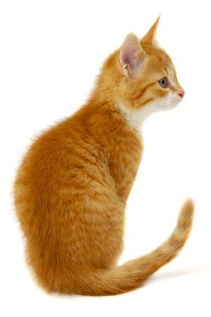 Un gatito de Gato rojo dulce está sentado sobre un fondo blanco, descanso y buscando Foto de archivo