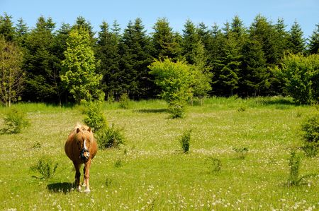 A horse is standing on a green medaow, at a summer day, with trees in the background. photo