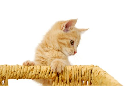 Sweet cat kitten is playing with a basket photo