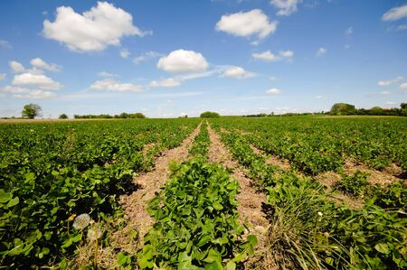 Field with rows of plants Stock Photo - 6566574