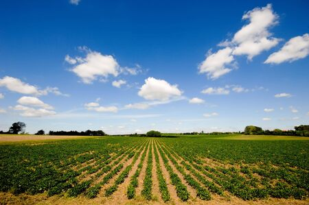 Field with rows of plants Stock Photo - 6566703