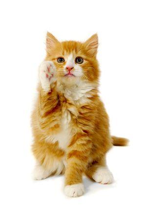 Gatito de Gato rojo es sentarse sobre un fondo blanco con pata delantera.