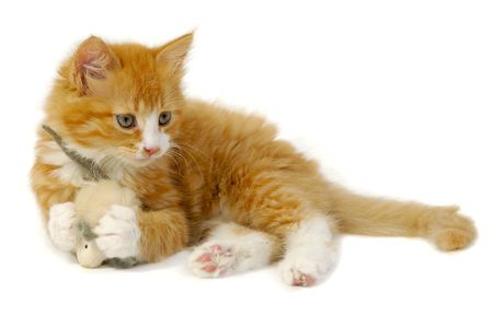 Sweet cat kitten is playing wity toy mouse photo