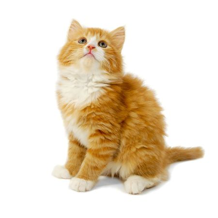 Red cat kitten is sitting on a white background looking up photo