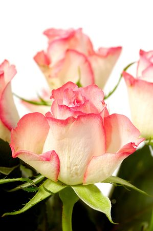 Pink and white rose flowers isolated on white background Stock Photo - 6678013